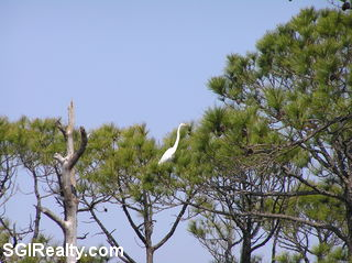 Pine trees on St. George Island